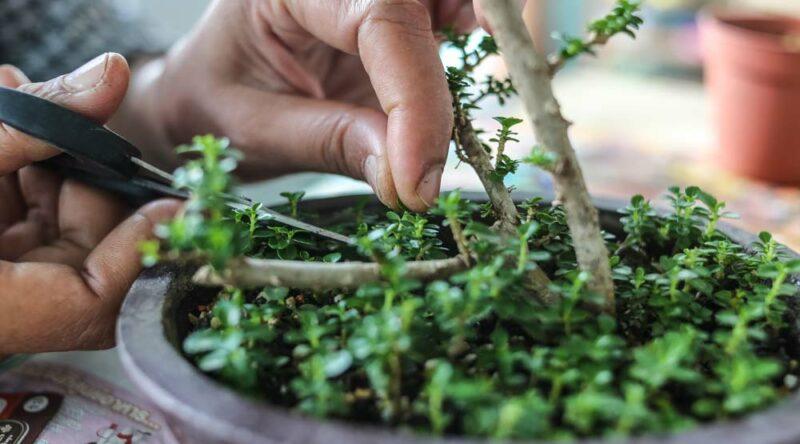 Como cuidar de bonsai: um guia essencial com dicas para seguir