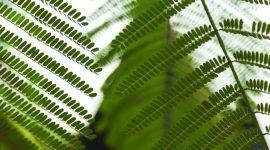 Como cuidar de samambaia: veja dicas essenciais para cultivar