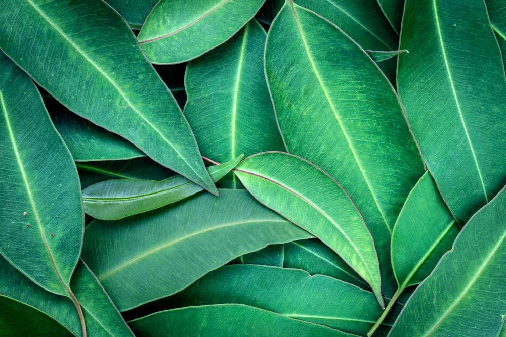 Essência de eucalipto para aromatizador de ambiente