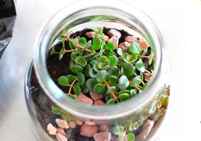 Brilhantina possui folhas ovaladas e pequenas
