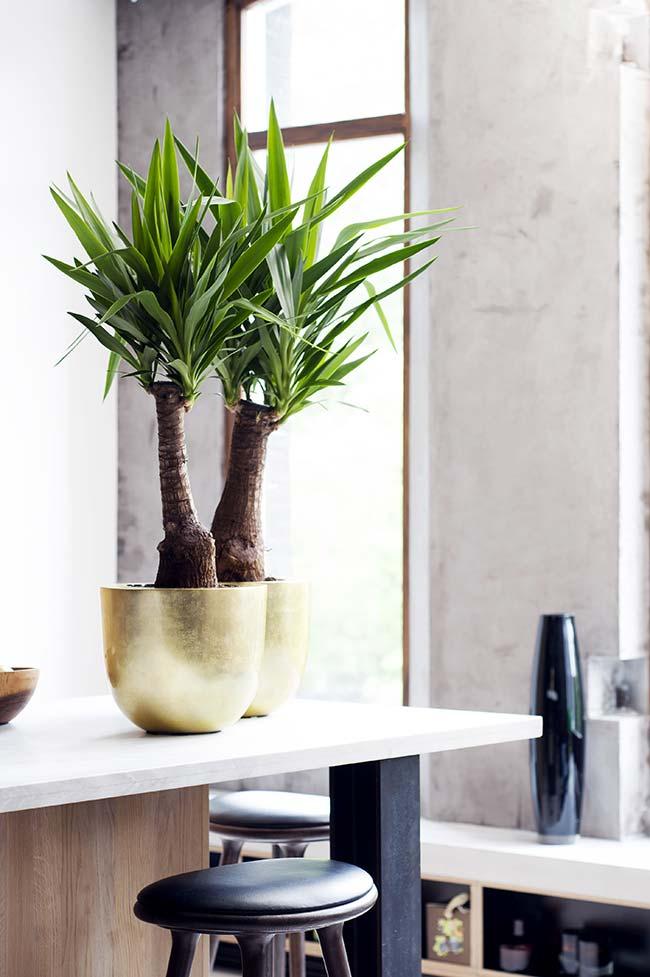 Vaso pequeno que limita o crescimento da palmeira ráfia