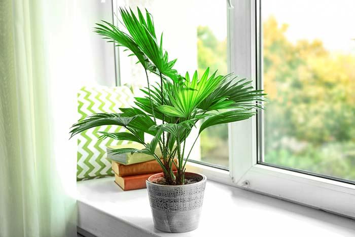 Muda pequenina de Palmeira Ráfia repousa sossegadamente no parapeito da janela