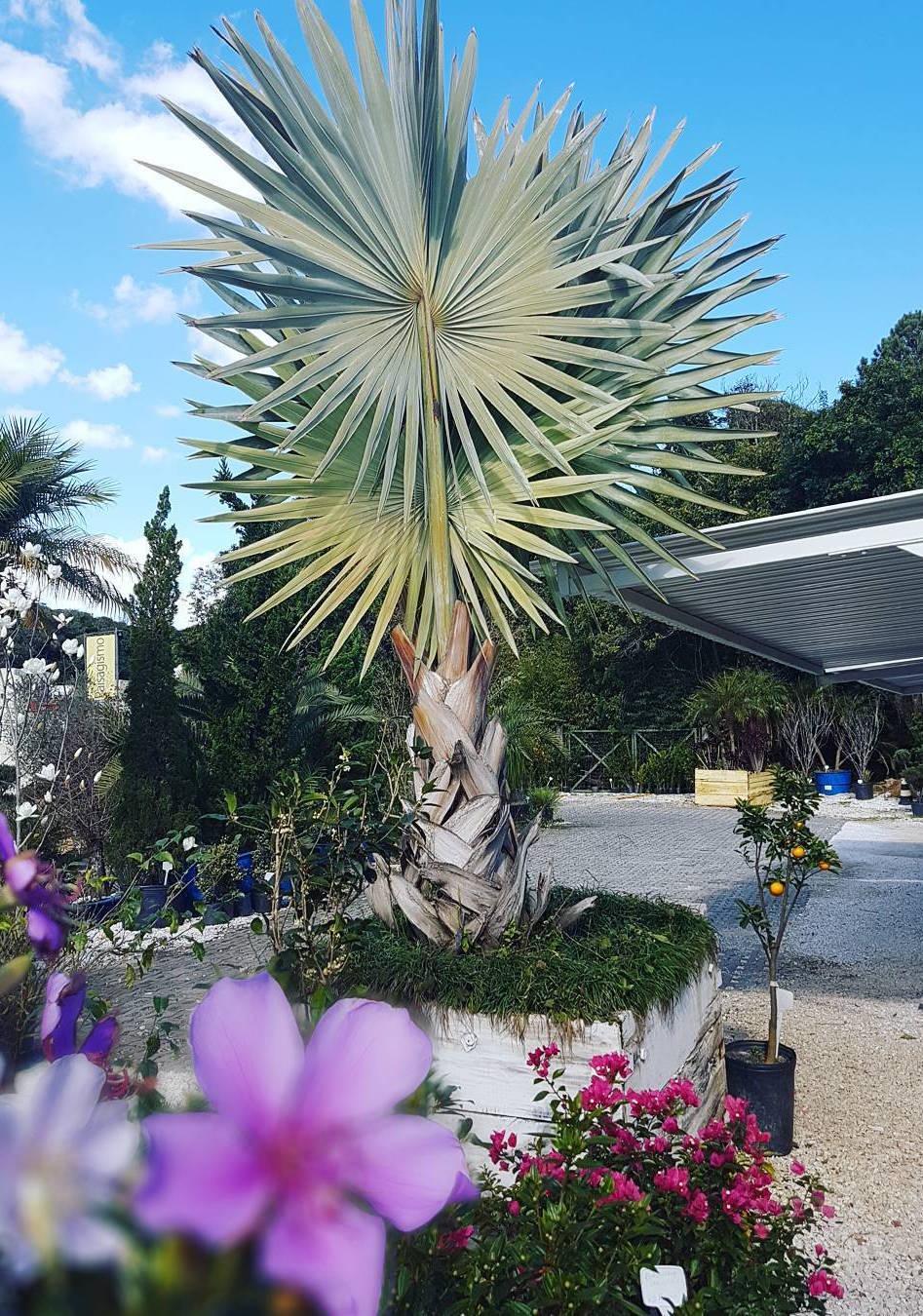 O canteiro central foi todo dedicado a ela; ao redor, flores e plantas menores completam o cenário