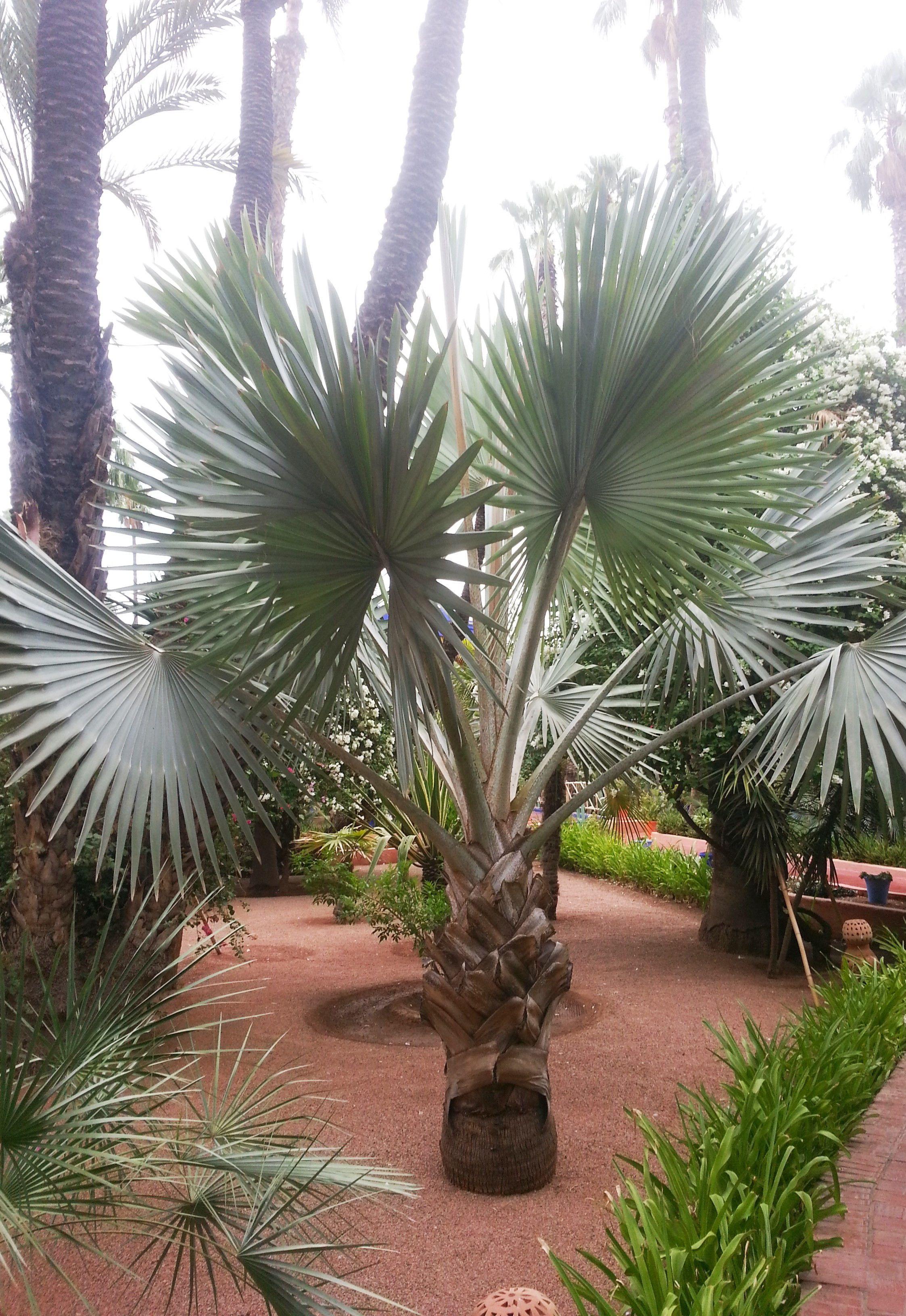 Repare como a copa da palmeira azul é ampla e espaçosa