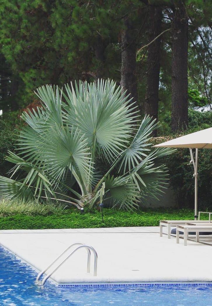 A palmeira azul é capaz de se destacar mesmo quando ainda é uma muda jovem