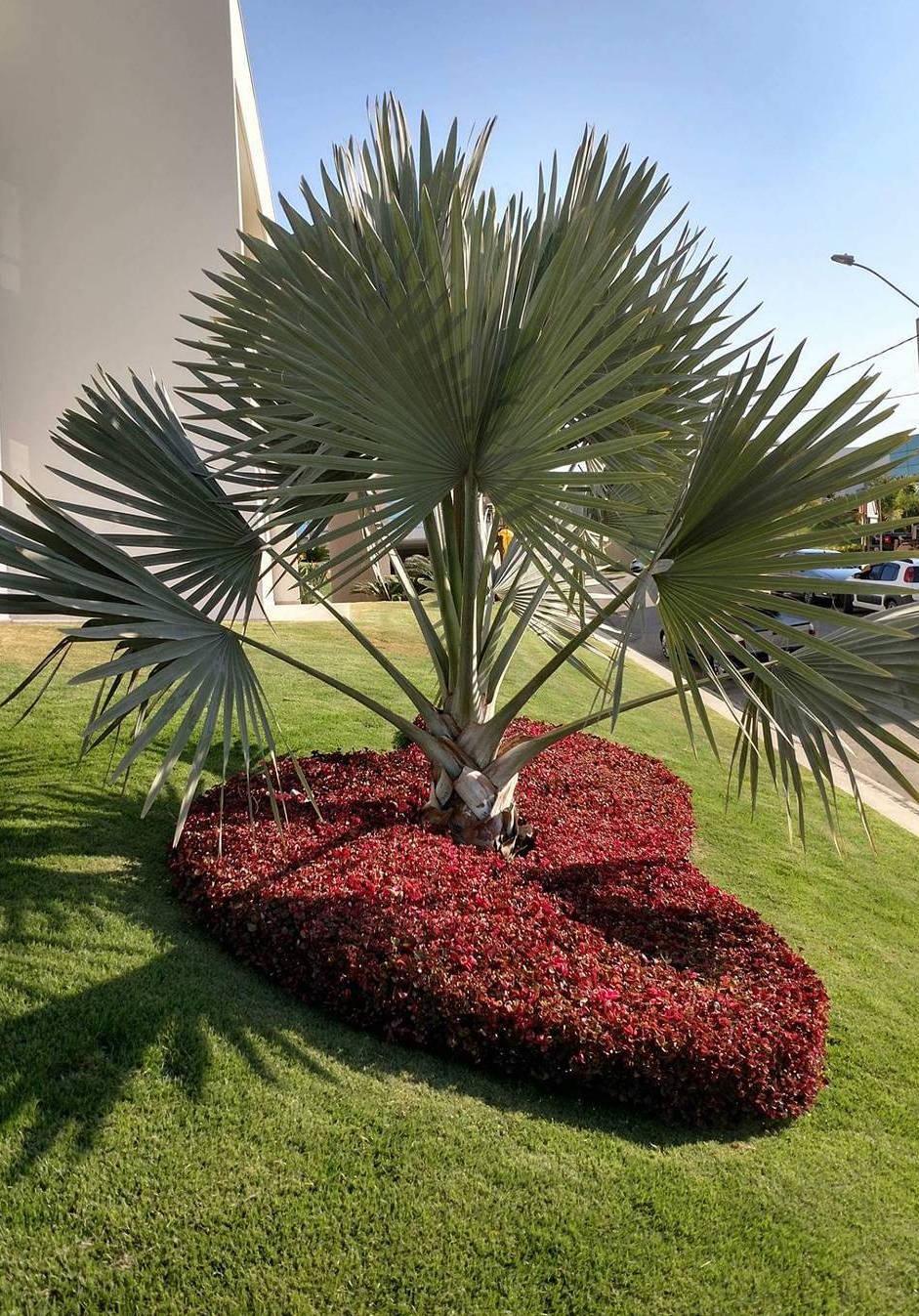 Sob a sombra da palmeira azul um belo canteiro de formas arredondadas repleto de iresines vermelhas