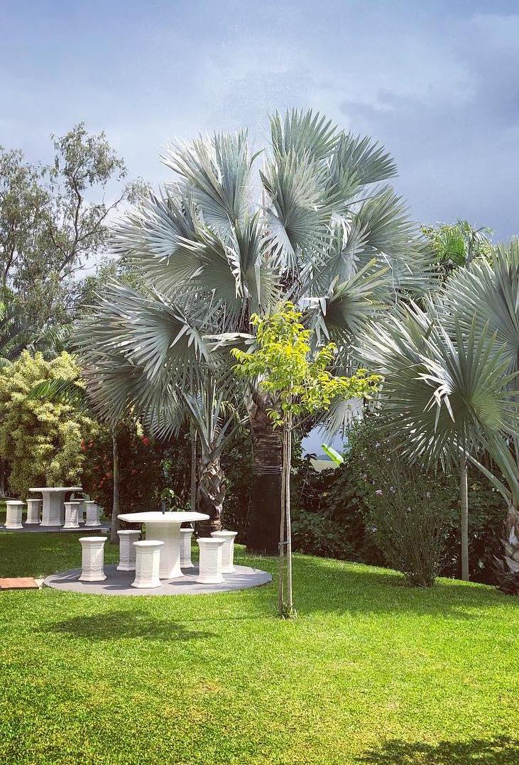 Um trio de palmeiras azul para ornamentar esse jardim amplo e todo gramado