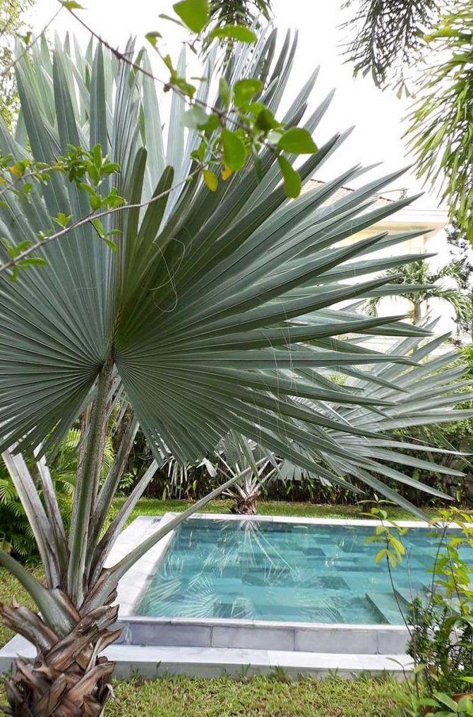 Não são apenas as folhas da palmeira azul que se destacam, o caule da planta também é muito ornamental
