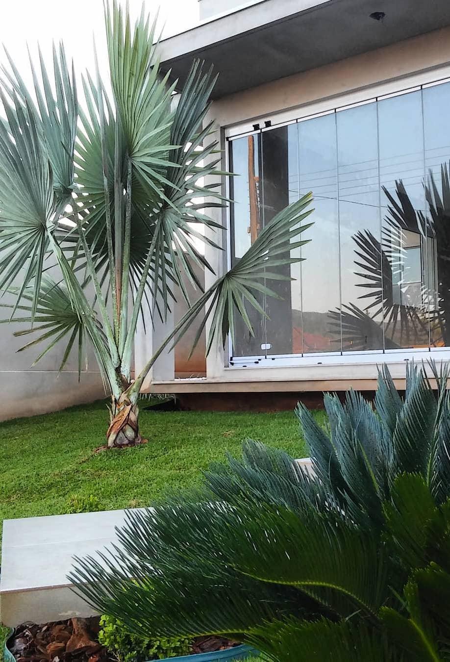 Você pode definir como será o crescimento da palmeira azul