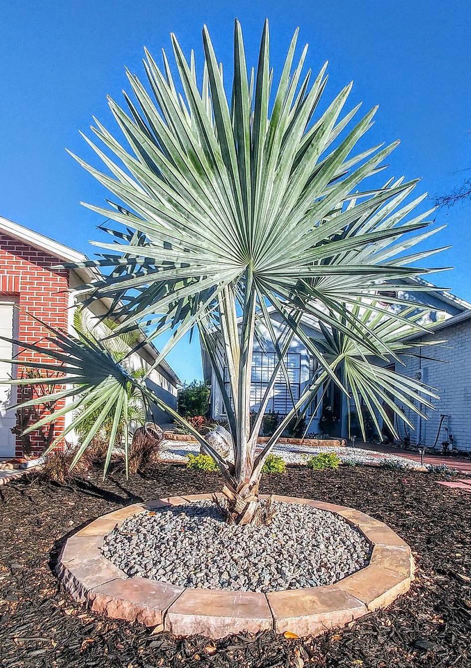 Deixe a palmeira azul abraçar o seu quintal