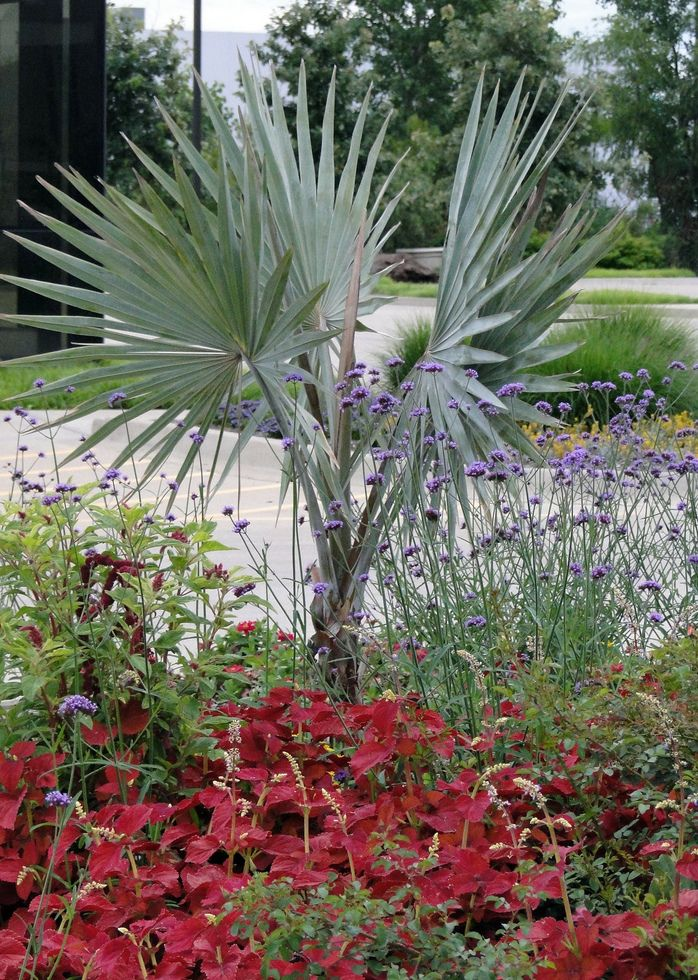 Enquanto não cresce, a muda de palmeira azul divide o campo visual com espécies menores de flores e folhagens.