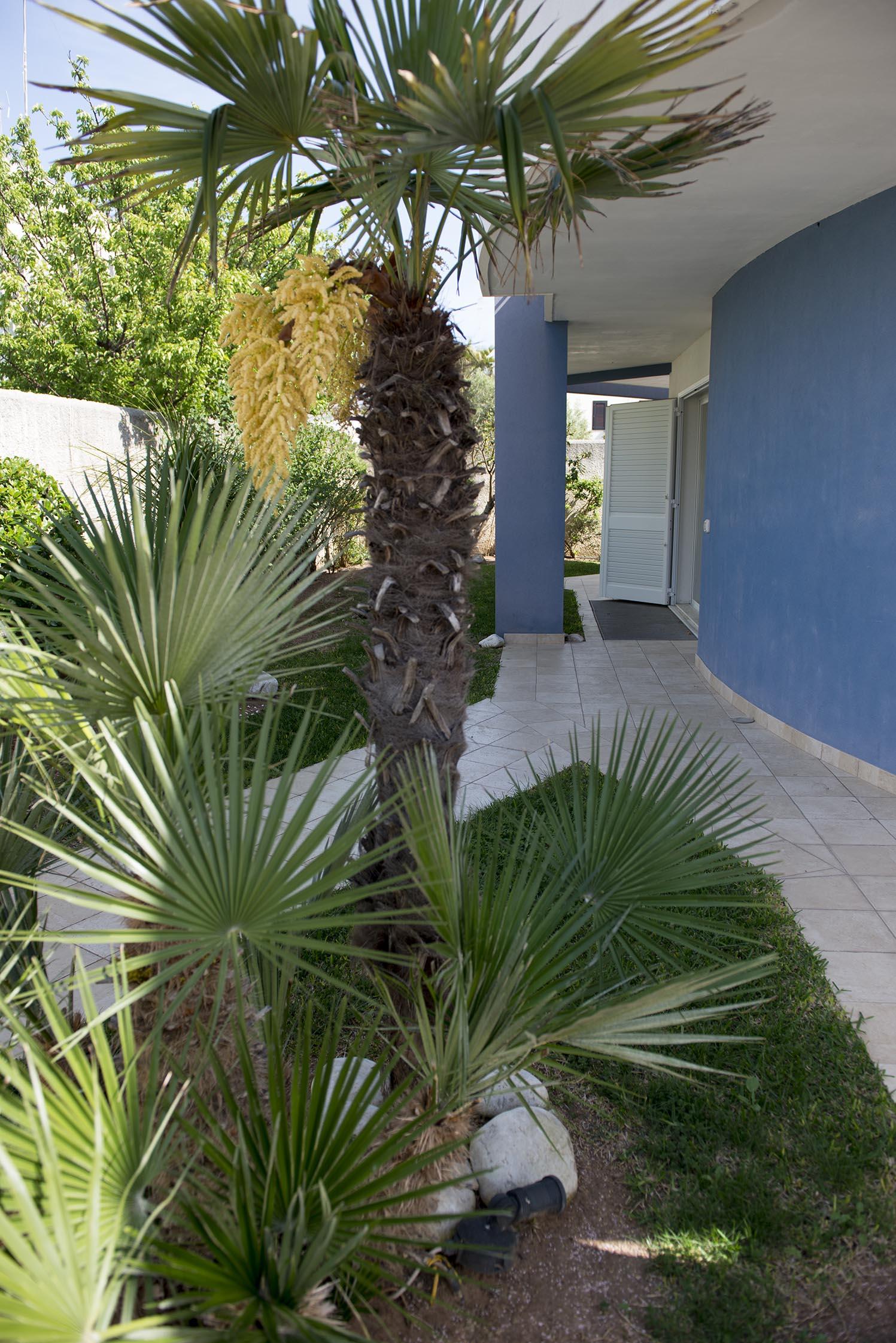 As palmeiras azul mais maduras florescem, assim como essa da imagem