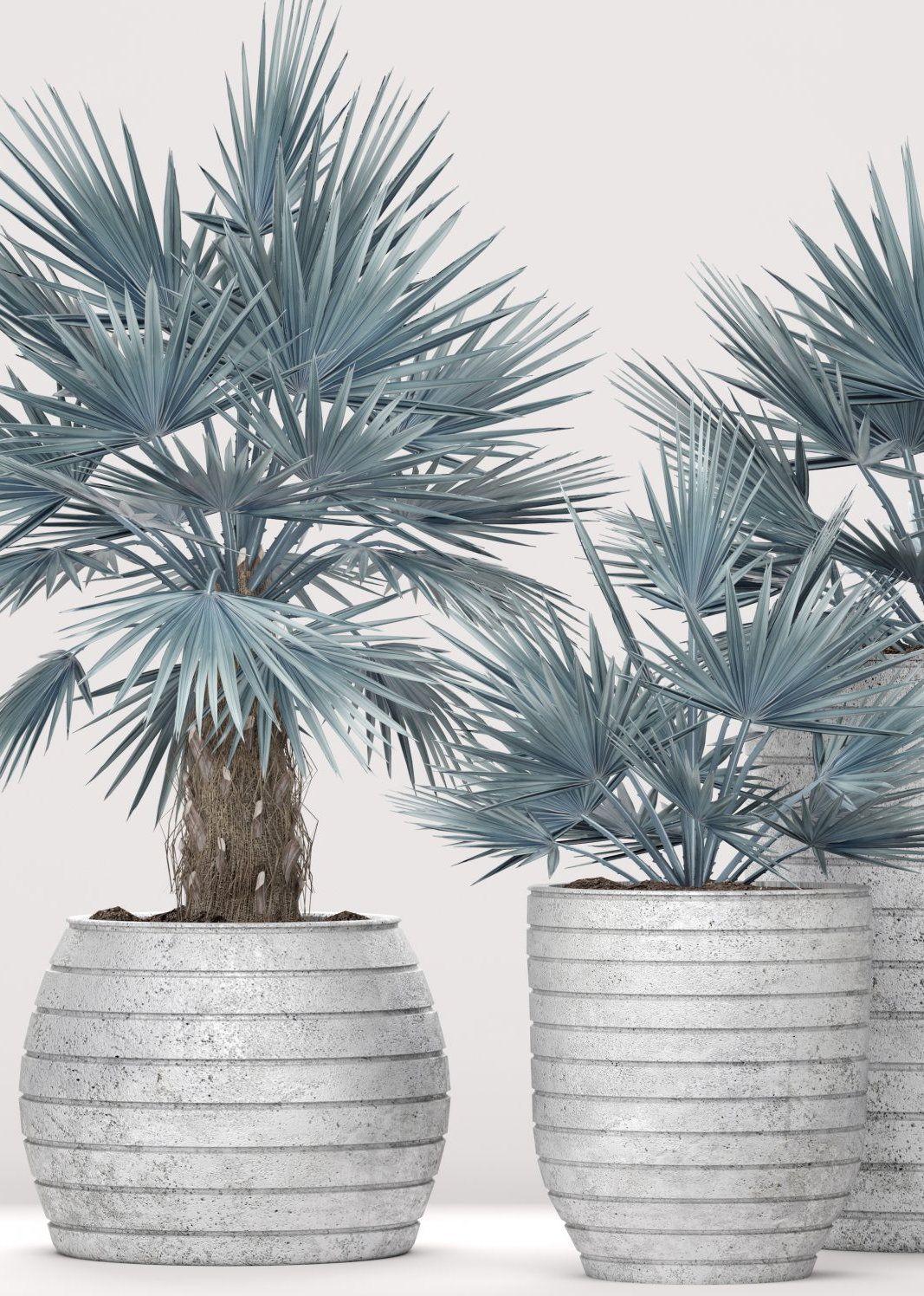 palmeiras azuis foram plantadas em vasos similares para compor um projeto de decoração de interiores