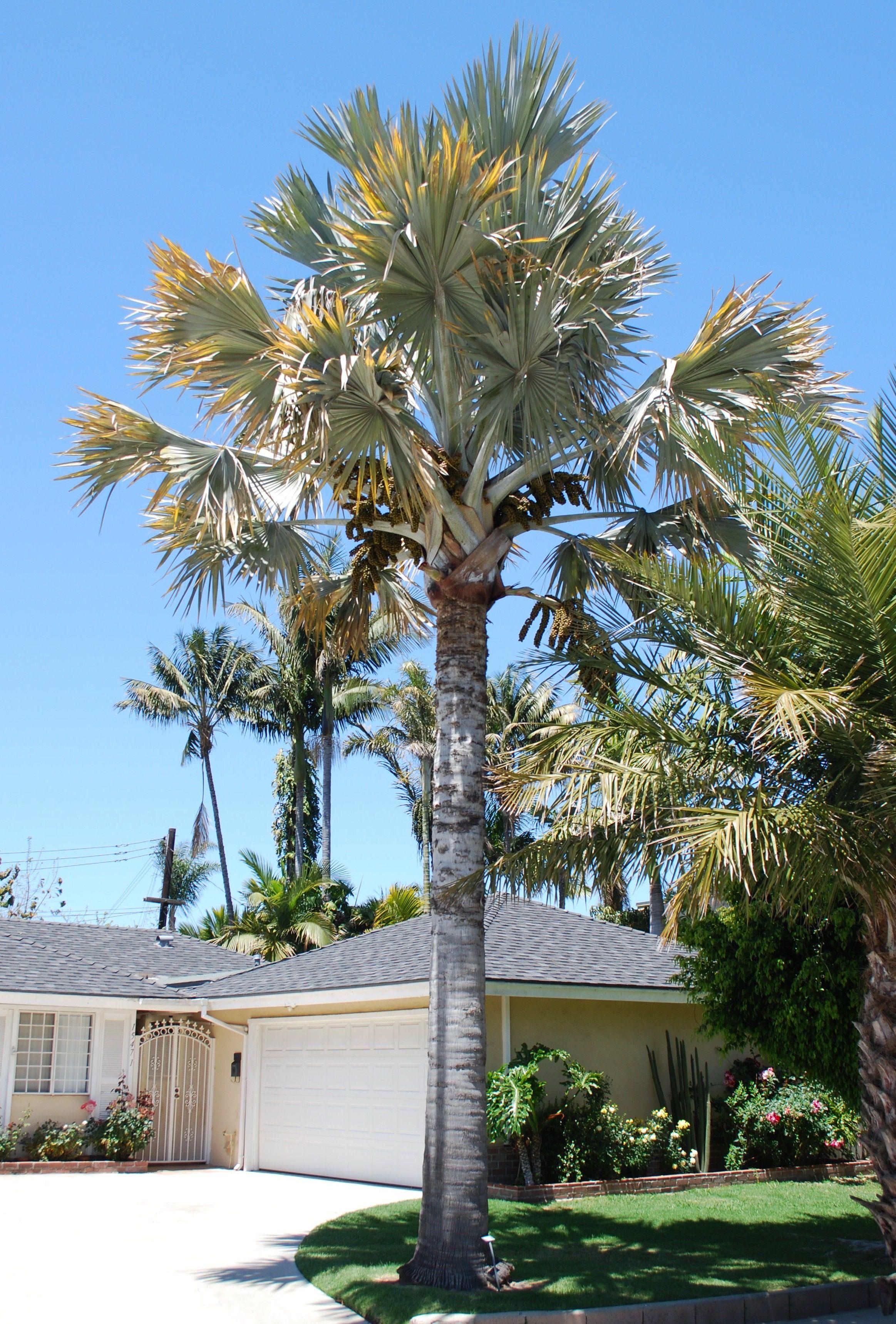 Um belo e bem cuidado gramado junto a uma palmeira azul no auge de sua força e beleza
