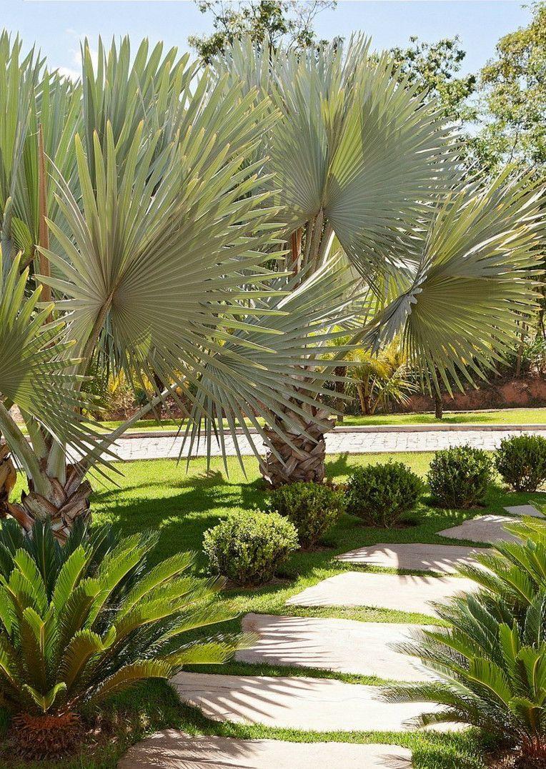 As palmeiras azul foram as escolhidas para adornar essa alameda junto com as buchinhas muito bem aparadas
