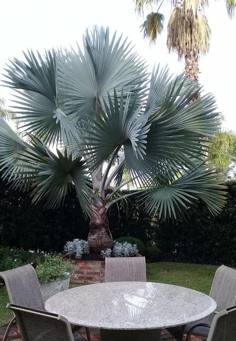 nesse jardim, as delicadas cinerárias acompanham o tom de cinza azulado das folhas da palmeira azul
