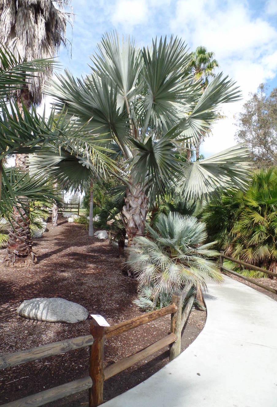 Pequenas ou grandes, as palmeiras azul são sempre bem vindas em projetos paisagísticos
