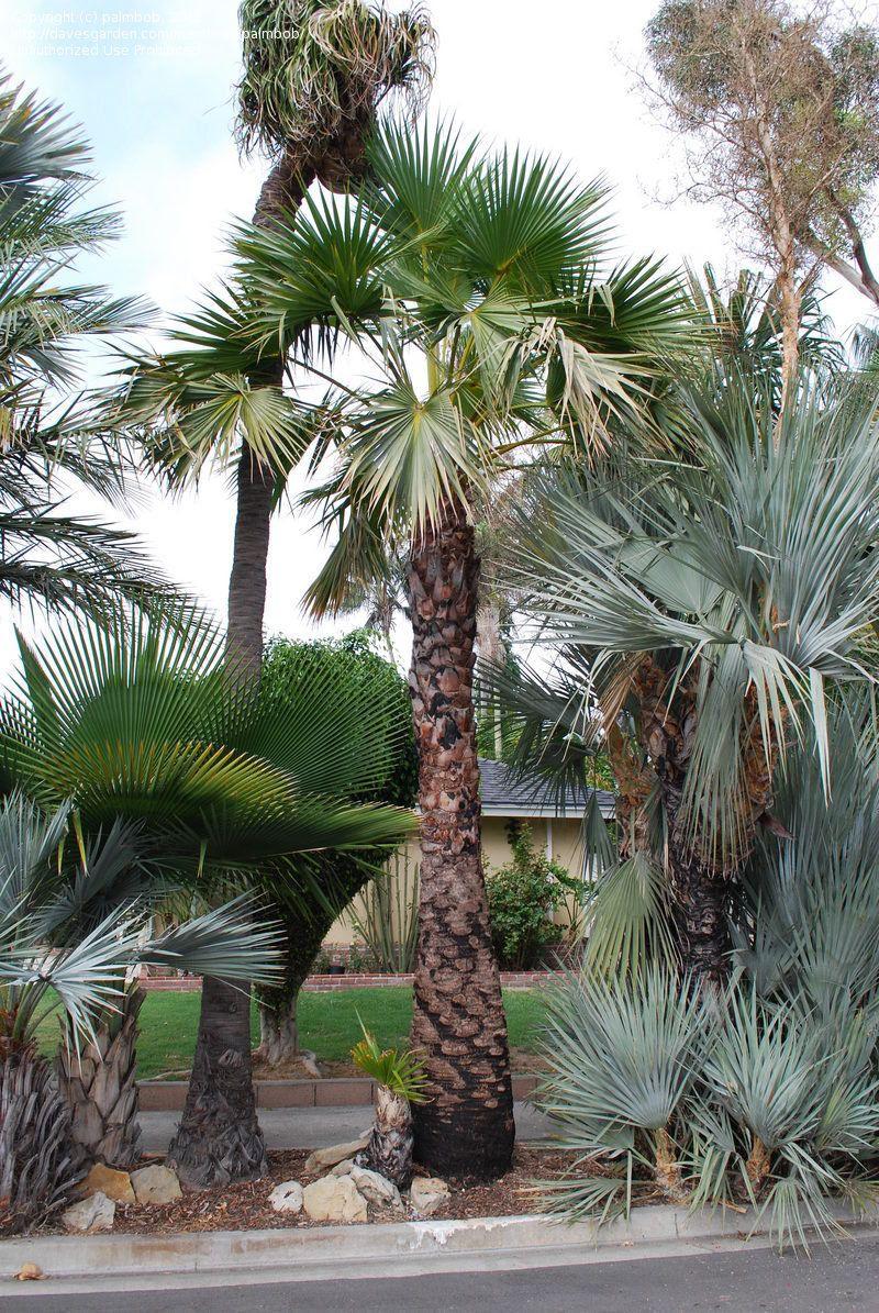 Alameda de espécies diferentes de palmeiras: repare na diferença de tons entre a palmeira azul e a palmeira leque