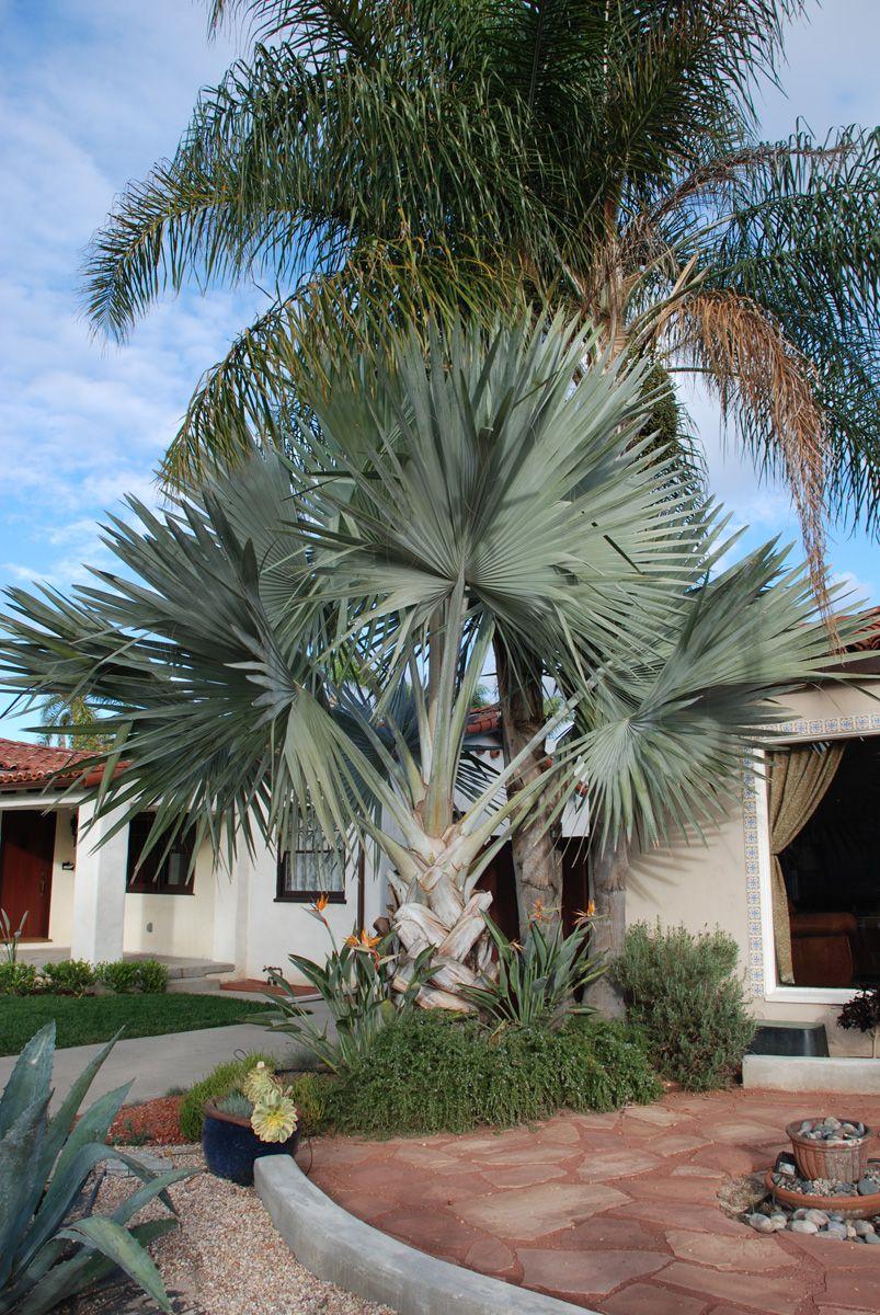 Uma proposta bem tropical: palmeira azul adornada por pássaros do paraíso, uma planta de flores laranja e azul