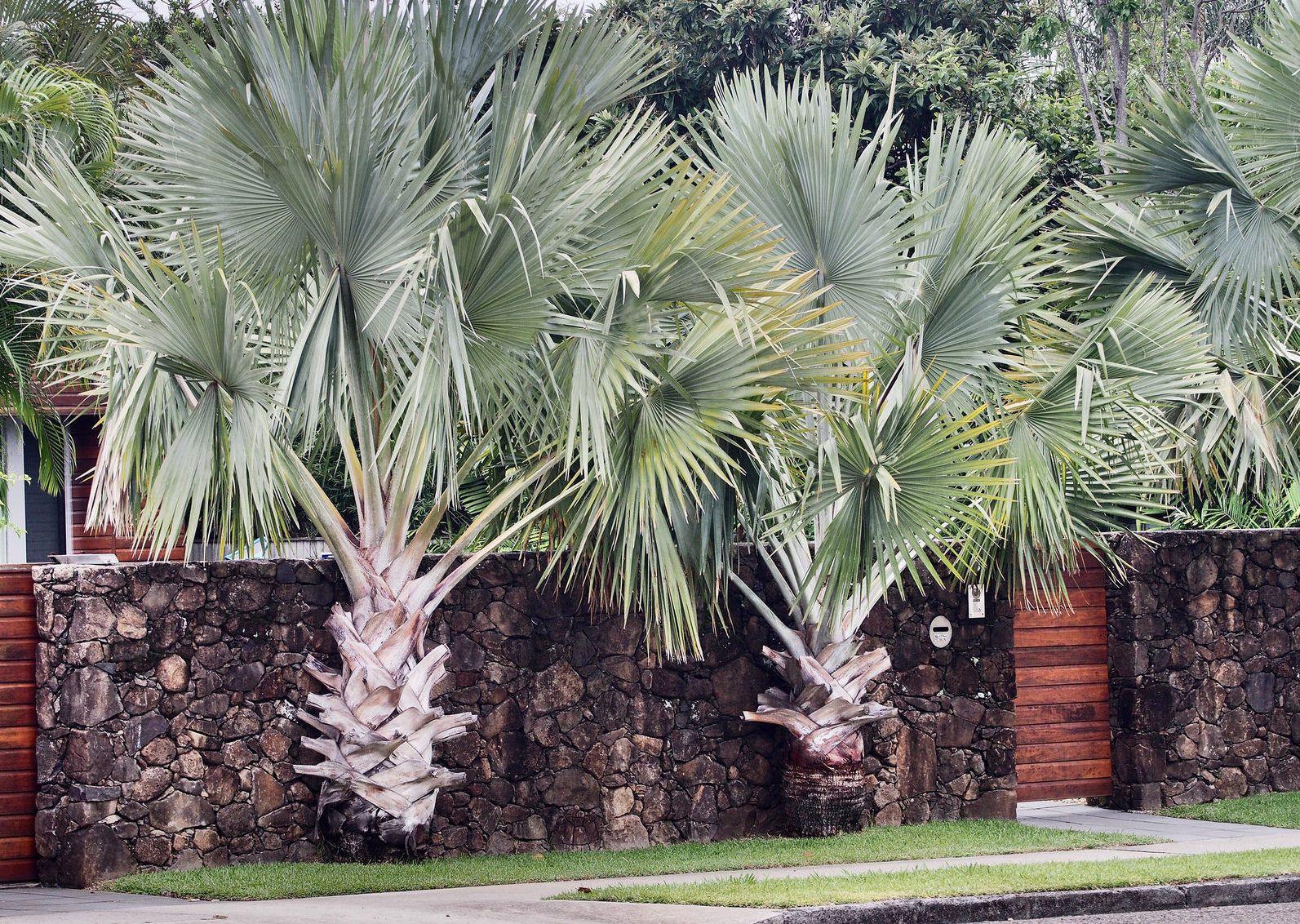 As palmeiras valorizam ainda mais o muro de pedra na entrada dessa casa