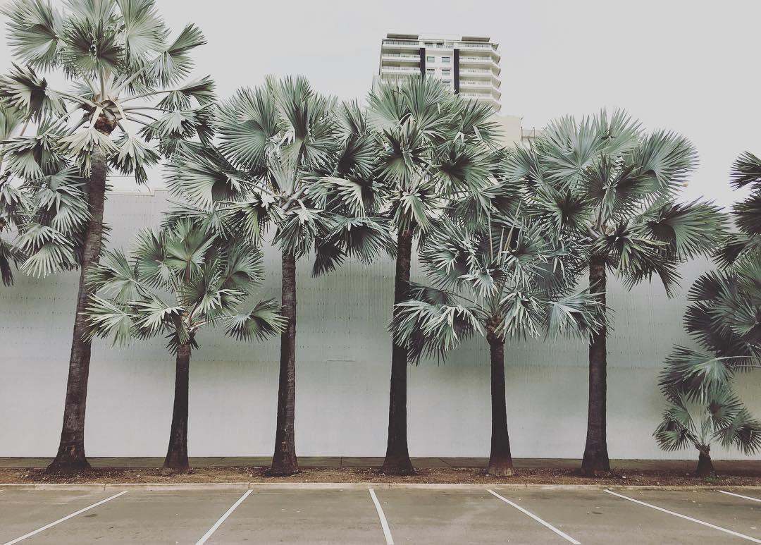 Uma composição interessante de palmeiras azul: cada uma de um tamanho diferente