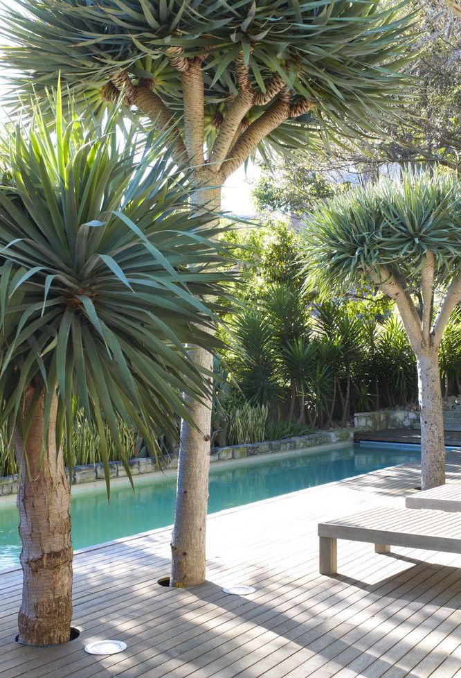 No deck de madeira essas palmeiras azuis garantem sombra e frescor para a beira da piscina