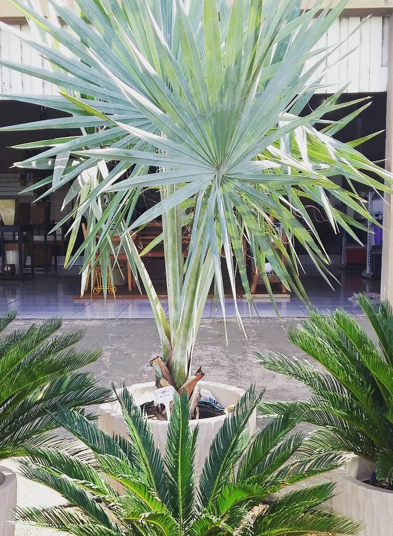 No vaso a palmeira azul fica com o crescimento limitado e pode ser usada tranquilamente em ambientes internos ou externos
