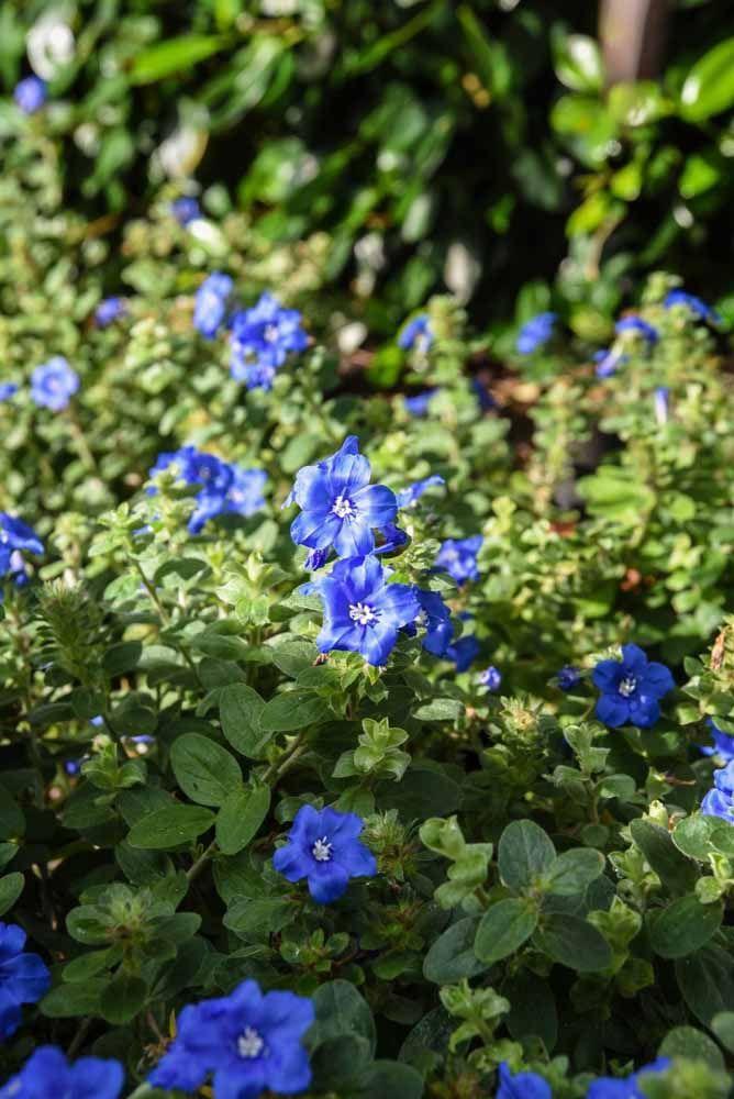 De folhas aveludas e aparência rústica, a Azulzinha não passa despercebida