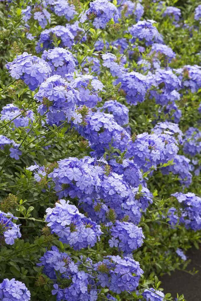 Versátil, a Bela Emilia é uma das flores mais populares no paisagismo