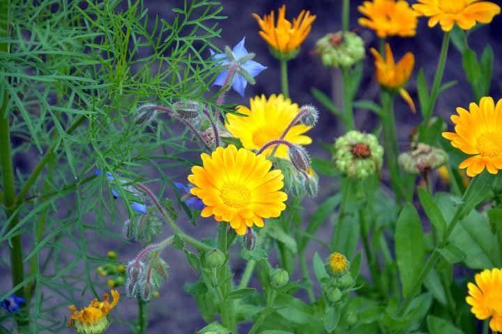 Calêndula: delicada e ótima aliada da medicina caseira