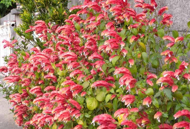 Atrai borboletas e beija flores para o jardim com a flor Camarão