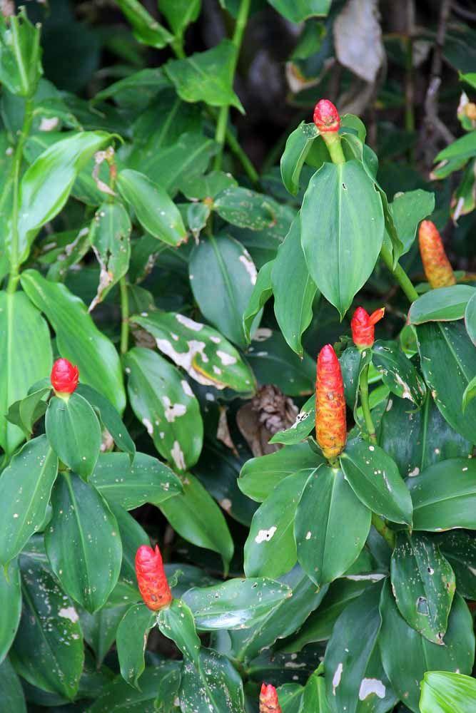 Rústica, decorativa e medicinal: essa é a Cana de Macaco