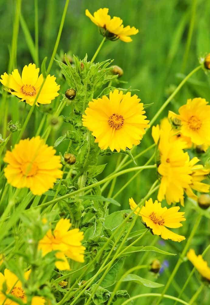 Coreópsis: mais conhecida como margaridinha amarela.