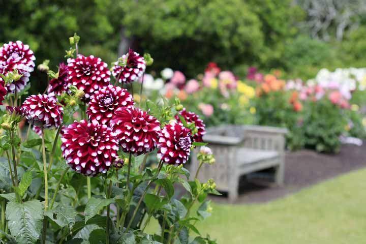 Dálias: sempre presentes nos jardins das vovós
