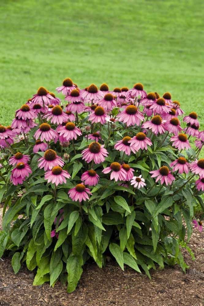 Traga a Flor de Cone e seu estilo campestre para o jardim