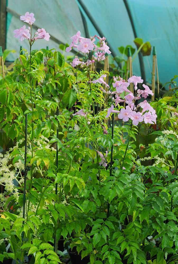 Sete léguas: uma singela flor trepadeira