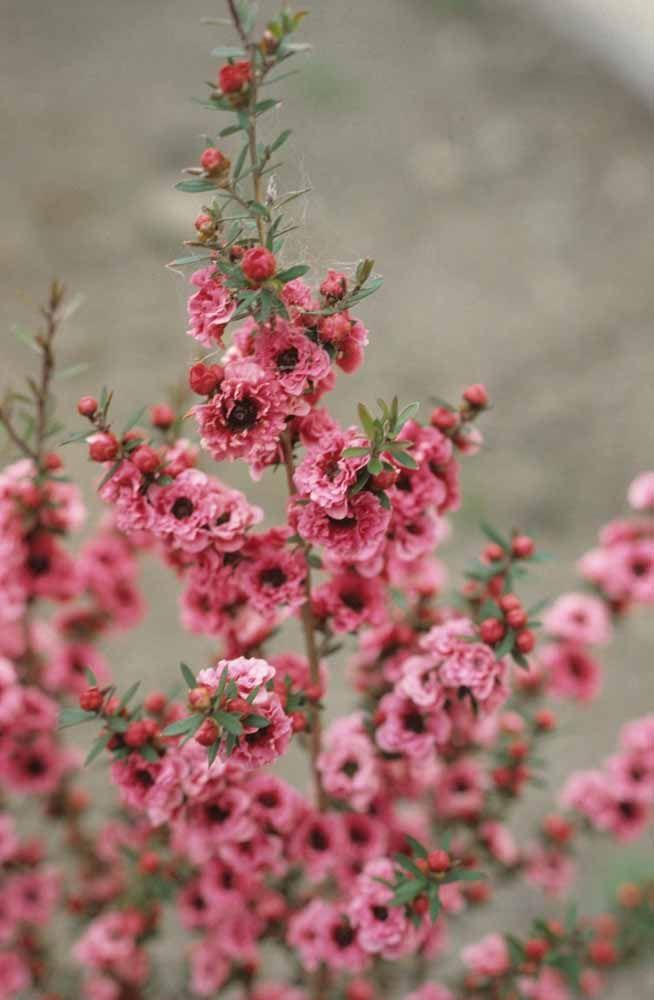 Lenhosa e rústica, a Érica Japonesa traz um grande destaque para o jardim