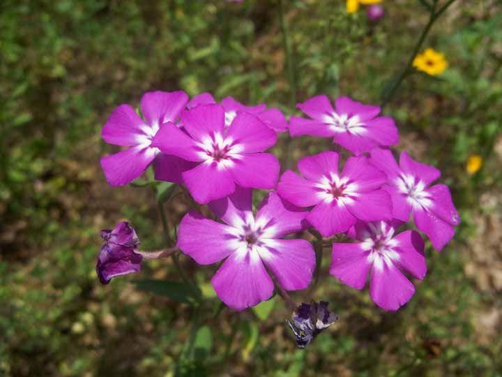 Amante de climas mais frios, a Flox traz um lindo contraste para o jardim