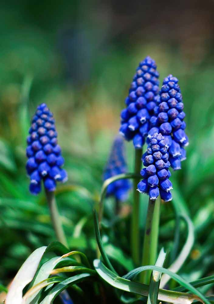 A azulada e tropical Gengibre Azul