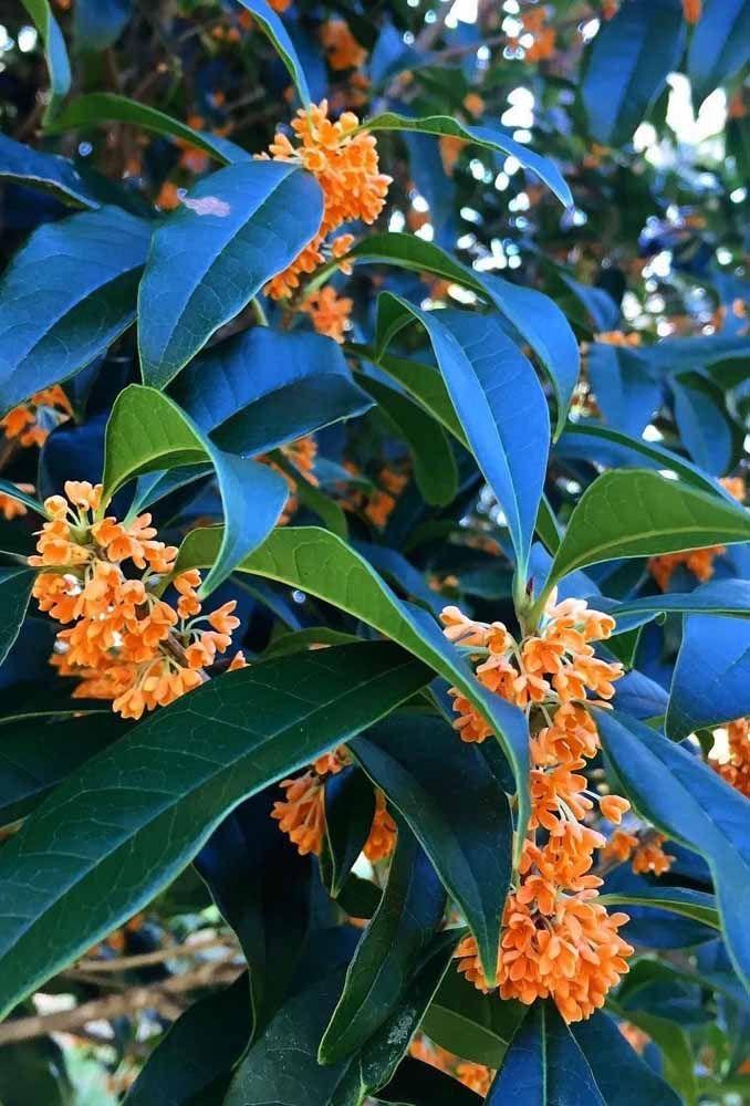 De flores alaranjadas, a Jasmim do Imperador é puro perfume