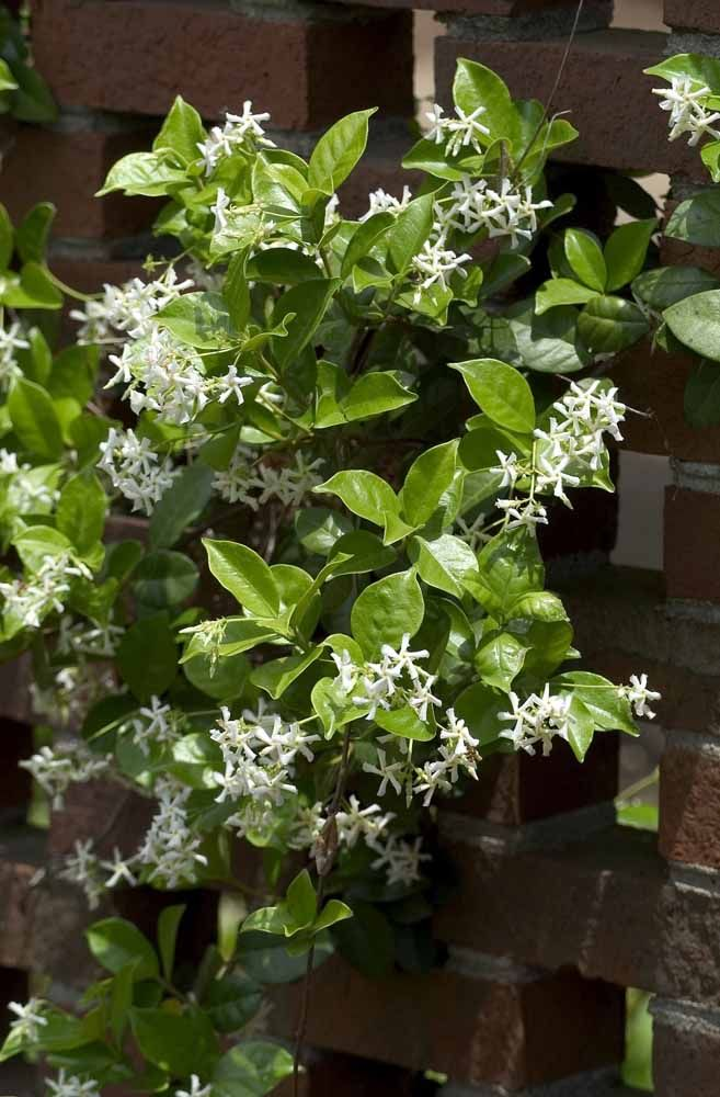 Flores em formato de estrela
