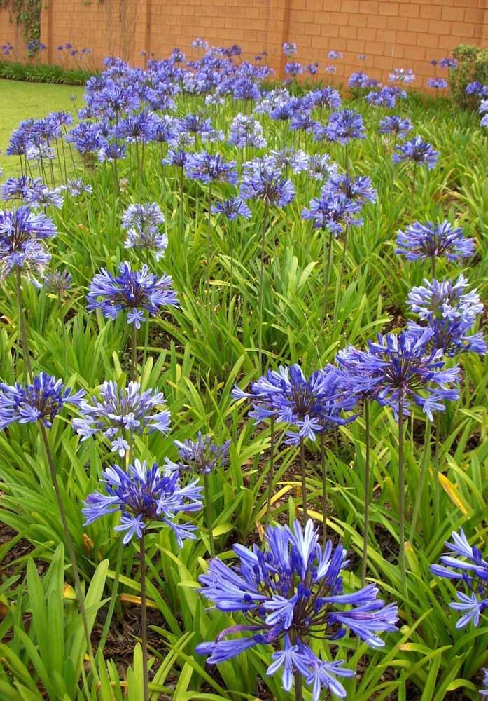 A beleza lilás do Agapanto para os canteiros