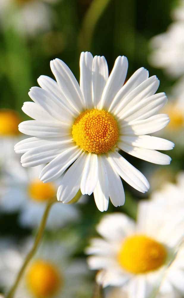 A simplicidade e a delicadeza das Margaridas