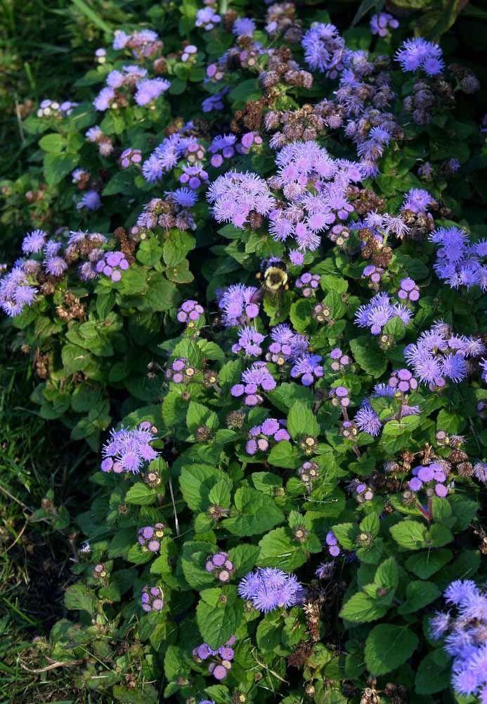 Entre os tons de azul e lilás, a felpuda Agerato mostra sua beleza