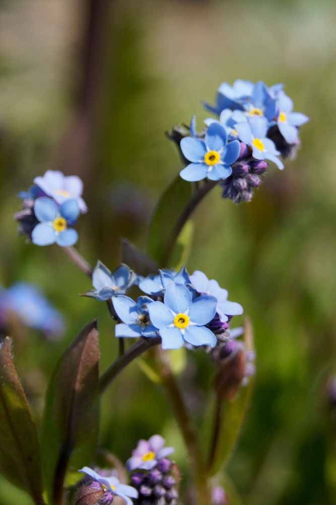 Pingos azuis no jardim: esse é o efeito da Miosótis