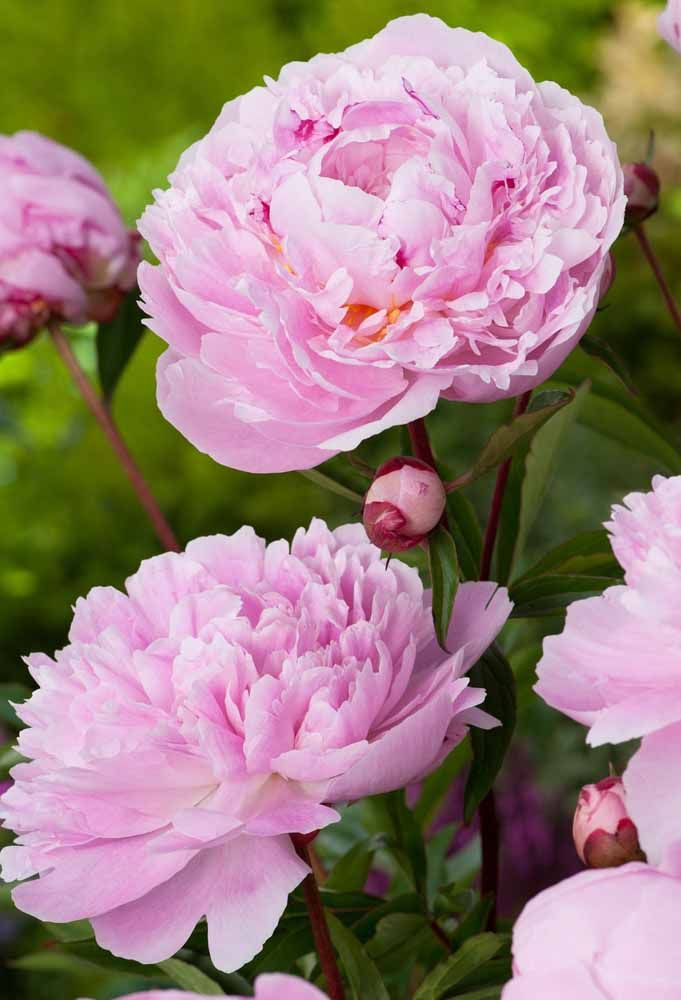 Peonia: a flor dos arranjos de festa
