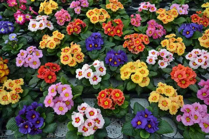 Crie lindas jardineiras com a Primula