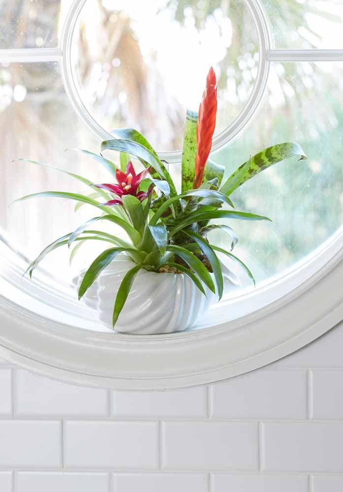 Próxima à janela, as bromélias encontram seu lugar ideal para crescer e se desenvolver