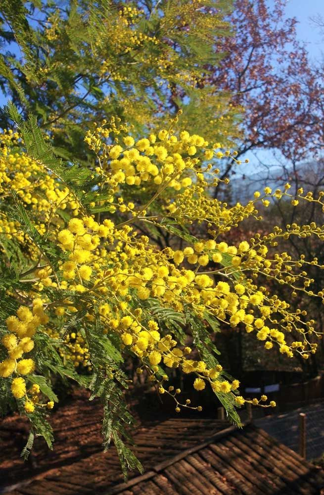 De flores amarelas que florescem no inverno, a Acácia é uma excelente opção para deixar a casa florida mesmo nos meses frios do ano.