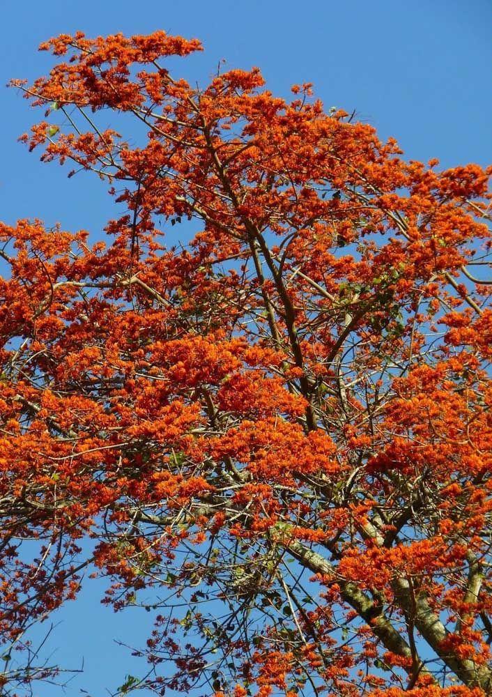Que tal uma árvore de flores vermelhas e formato exótico? A Candelabro é uma ótima sugestão; a espécie cresce pouco atingindo no máximo quatro a seis metros de altura